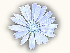 chicory - bach flower remedies