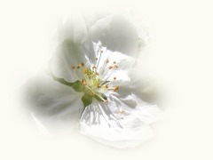 crab apple - bach flower remedies
